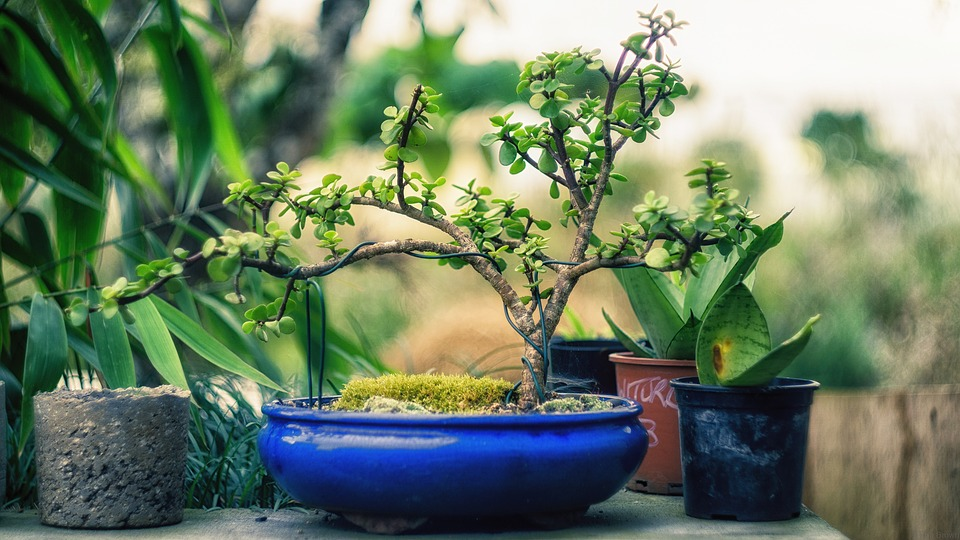 Bonsaibaum